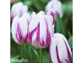 bilofialovy tulipan triumph flaming flag 1