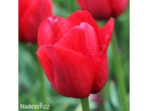 Tulipán Triumph Ile de france 1