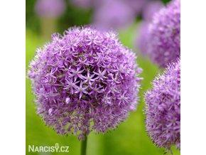Česnek Allium Gladiator 1