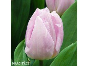 ruzovy tulipan candy prince 1