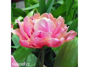 ruzovy plnokvety tulipan final star 1