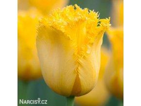 zluty trepenity tulipan maja 1