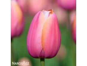 ruzovy tulipan triumph menton 1