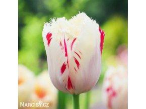 bilocerveny trepenity tulipan carousel 1