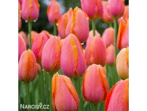 Tulipán Triumph Dordogne 2