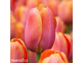 Tulipán Triumph Dordogne 1