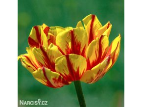 Tulipany Golden nizza 1