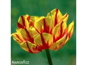 zlutocerveny plnokvety tulipan golden nizza 1