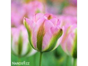 ruzovy tulipan triumph groenland 1