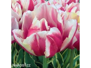Tulipany Top Lips 1