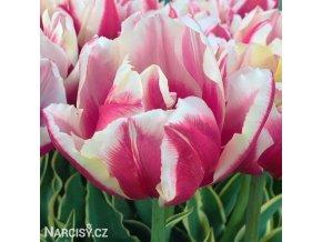 ruzovy plnokvety tulipan top lips 1