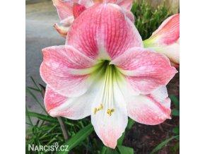 růžový hvězdník amaryllis appleblossom 1