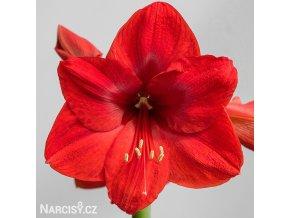 červený hvězdník amaryllis red lion 1