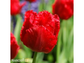 Tulipan Crystal Beauty 1