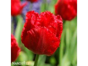 cerveny trepenity tulipan crystal beauty 0