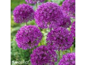 fialovy cesnek allium purple sensation 2