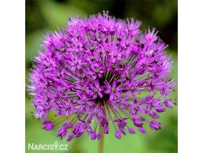 Česnek Allium Purple Sensation 1