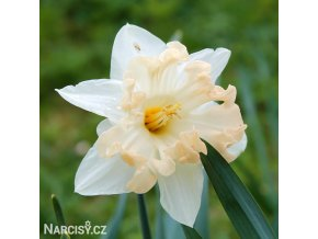 Narcis Changing colours 1