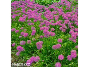 Česnek Allium Stipitatum 3