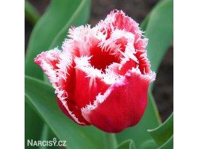 cervenobily trepenity tulipan canasta 1