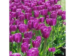 Tulipan Purple Prince 5