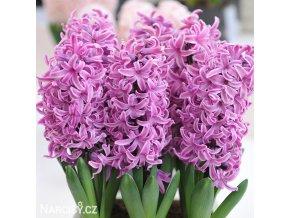 ruzovy hyacint paul hermann 3
