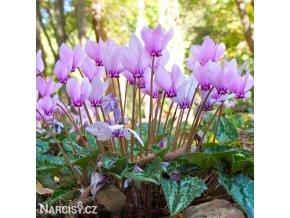 bramborik podzimni cyclamen hederifolium 2