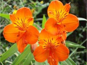 Alstroemeria aurea Orange King 07