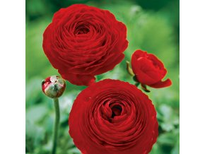Ranunculus red 01