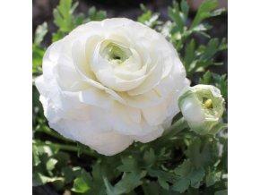 Ranunculus white 04