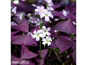 Oxalis Triangularis 01