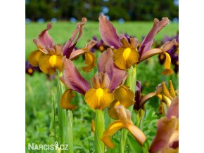 Iris Autumn Princess 04