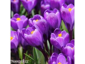 fialovy krokus flower record 3