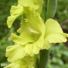 Gladiol Green Star 04