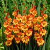 Gladiol Princess Margareth 04