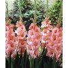 Gladiol Spic and Span 04