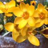 Krokus Yellow large flowering 4