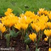 zluty krokus yellow large 6