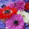 sasanka anemone st brigid mix 3