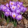 Krokus Barr's purple tommasianus 2