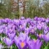 Krokus Barr's purple tommasianus 4