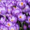 fialovy krokus barrs purple 1