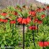 Repcik Fritillaria Rubra 5