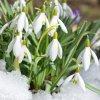Sněženka Galanthus Woronowii 2