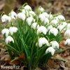 snezenka galanthus flore pleno 6