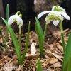 snezenka galanthus flore pleno 7