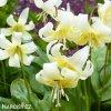 kandik bily erythronium white 3