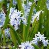 modrobílá puškínie puschkinia libanotica 4