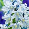 modrobílá puškínie puschkinia libanotica 7