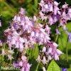 hyacintovec ruzovy hispanica pink 2